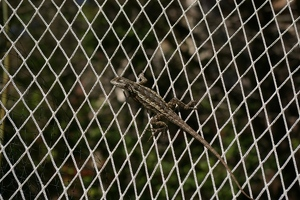 Lizard on garden net