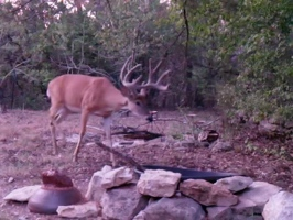 Video: Big buck