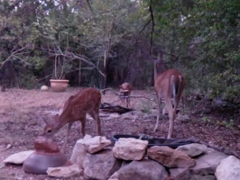Video: Doe and fawns
