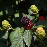 Blackberries, not quite ripe