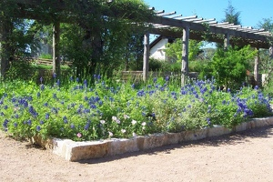 Bluebonnet garden in the courtyard