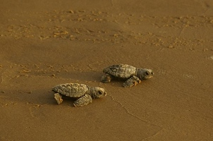 Hatchlings walking