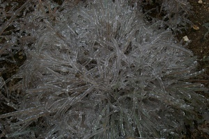 Icy bunch grass