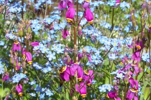 Blue forget-me-not with purple shooting-star