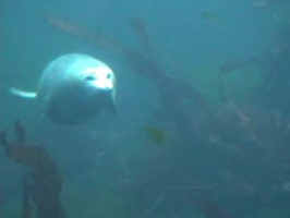 Video: Seals under water