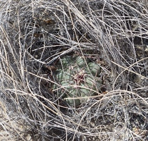 Cactus growing in bunch grass
