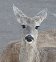 Deer with eyelashes
