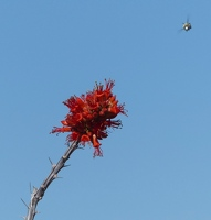 Ocotillo blossom with bee