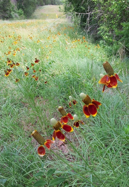 Mexican Hat flowers