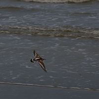 Flying beach bird