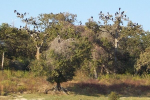 Trees full of black vultures