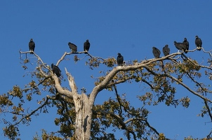 Black vultures in tree