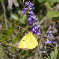 Clouded sulphur butterfly on mealy blue sage