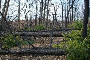 Burned pine logs and oak regrowth