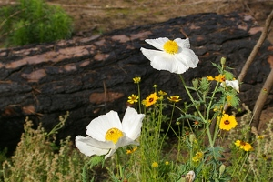 Wildflowers, poppy and coreopsis