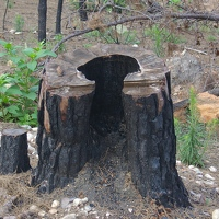 Ashes falling from inside burned stump