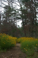 Hiking trail at Buescher State Park, surrounded by coreopsis