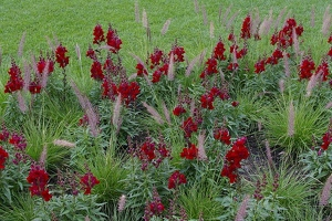 Snapdragons and ornamental grasses