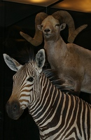 Zebra and ram