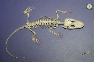 Small alligator skeleton