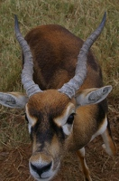 Young male blackbuck