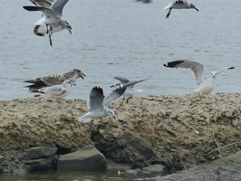 Large Herring Gull eating a fish