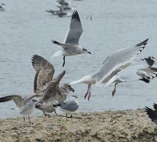 Gull wings