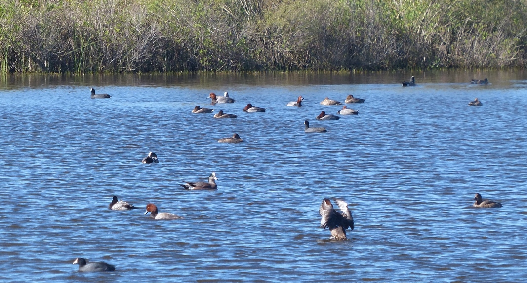 Duck pond with Redheads, American Wigeon, Coot