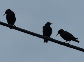 European Starling silhouette
