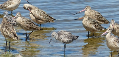 Marbled Godwits and Western Willet
