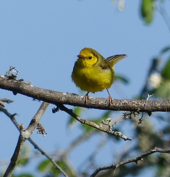 Hooded Warbler, female