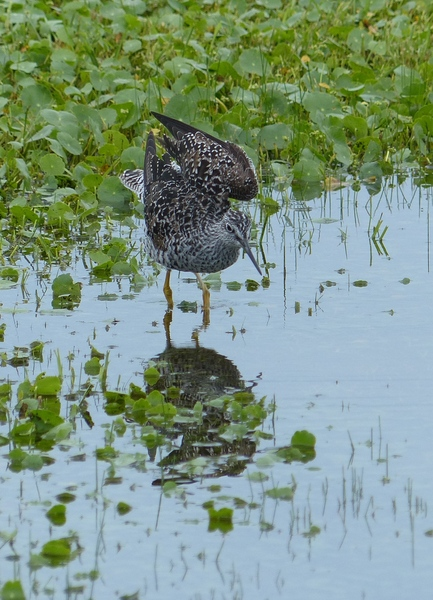 P1100176 greater yellowlegs.JPG