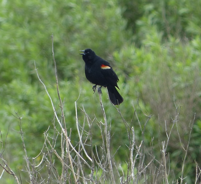 P1100341 red-winged blackbird.JPG