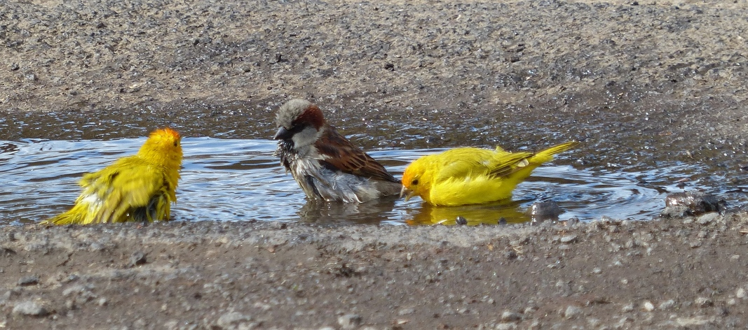 Saffron Finches and House Sparrow