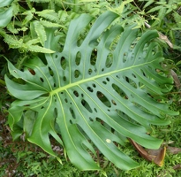 Philodendron leaf