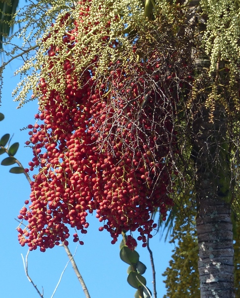 Red palm fruits