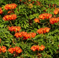 African tulip tree flowers