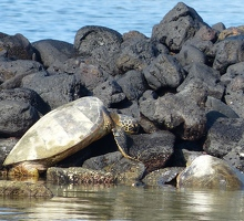 Sea turtles resting
