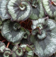 Begonia spiral leaves