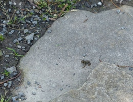 The black spot is a tiny toadlet!