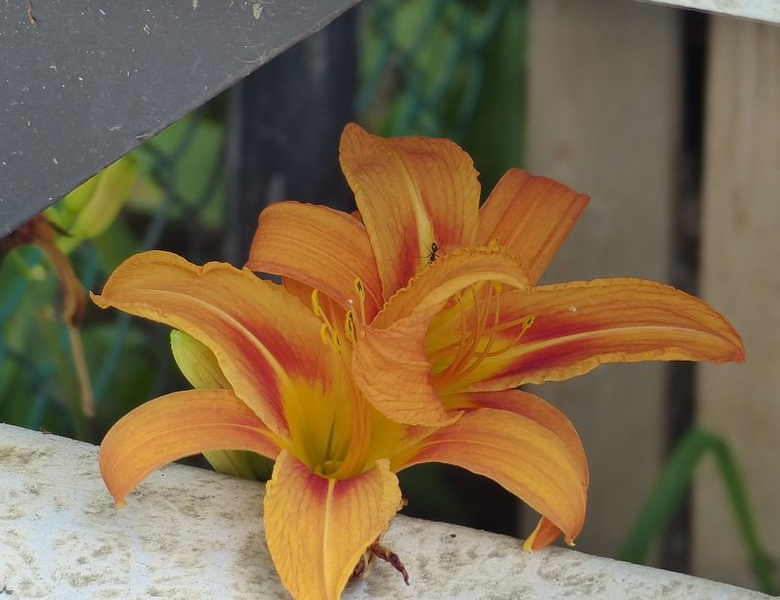 Day lily under our steps