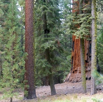 Forest with giant Sequoia tree