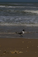 Laughing gull on beach