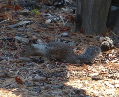 Squirrel with silver spots