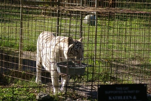 White tigress Zabu