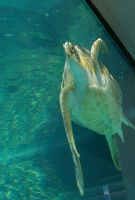 Thick glass distorts sea turtle