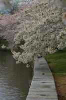 Cherry blossoms along Tidal Basin