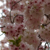 Pink fluffy cherry blossoms