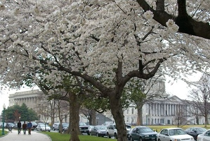 Capitol building and cherry trees