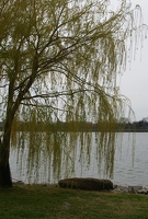 Willow along Potomac